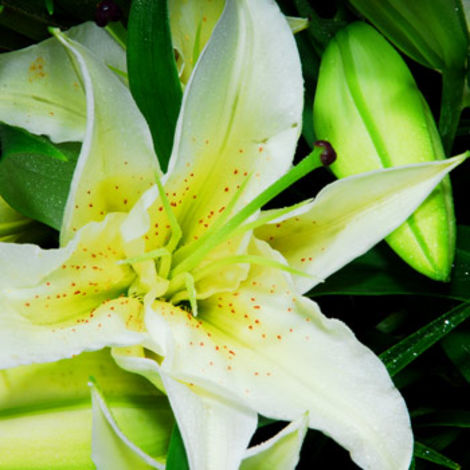 White Lily Funeral Bouquet