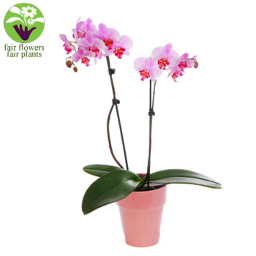 Image of Pink Orchid - flowers
